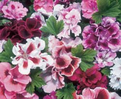 Regal Geranium
