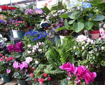 Flowering plants for indoors - Indoor colorful plants ...