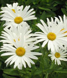 Perennials at echters masses of large white showy flowers over dark green foliage perennial plant that blooms all summer long year after year mightylinksfo